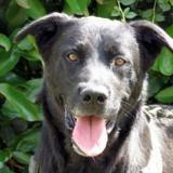Coco, Chien croisé / autre (labrador (retriever)) à adopter
