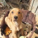 Liana, Chiot croisé / autre (labrador (retriever)) à adopter