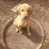 Peche, Chiot croisé / autre (labrador (retriever)) à adopter