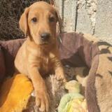 Loana, Chiot croisé / autre (labrador (retriever)) à adopter
