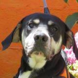Catcheur vaa22021, Chien croisé / autre (labrador (retriever)) à adopter