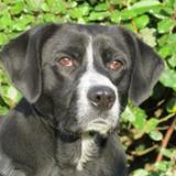 Filipo, Chiot croisé / autre (labrador (retriever)) à adopter