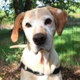 Alvin, Chien croisé / autre (labrador (retriever)) à adopter