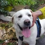 Lucky (réservé), Chien croisé / autre (labrador (retriever)) à adopter