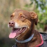 Lilou, Chien croisé / autre (labrador (retriever)) à adopter