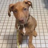 Sammy, Chiot croisé / autre (labrador (retriever)) à adopter