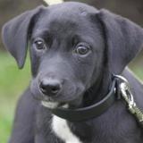 Papaye chao10363, Chiot croisé / autre (labrador (retriever)) à adopter