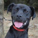 Esko chao9123, Chien croisé / autre (labrador (retriever)) à adopter