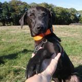 Jumbo, Chien croisé / autre (labrador (retriever)) à adopter