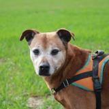 Jack haa22702, Chien croisé / autre (labrador (retriever)) à adopter