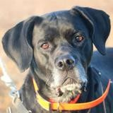 Louna haa22537, Chien croisé / autre (labrador (retriever)) à adopter