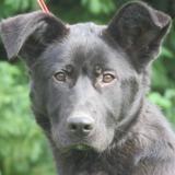 Patafix, Chiot croisé / autre (labrador (retriever)) à adopter