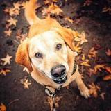Justin, Chien croisé / autre (labrador (retriever)) à adopter