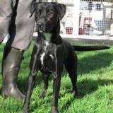 Orlove, Chiot croisé / autre (labrador (retriever)) à adopter