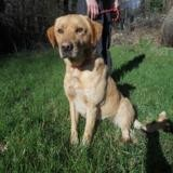 Juke, Chien croisé / autre (labrador (retriever)) à adopter
