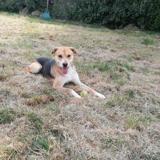 Marley, Chien croisé / autre (labrador (retriever)) à adopter