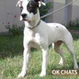 Voxy, Chien croisé / autre (labrador (retriever)) à adopter