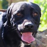 Sacha, Chien croisé / autre (labrador (retriever)) à adopter