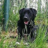 Otto, Chien croisé / autre (labrador (retriever)/ berger) à adopter