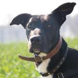 Hades haa22269, Chien croisé / autre (labrador (retriever)/ berger) à adopter