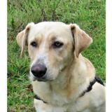 Bertaga qcn, Chien croisé / autre (labrador (retriever)/ berger) à adopter