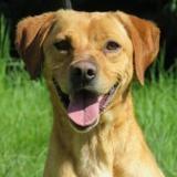 Duracell, Chien croisé / autre (labrador (retriever)/ berger) à adopter