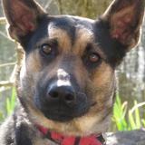 Laska, Chien croisé / autre (labrador (retriever)/ berger) à adopter