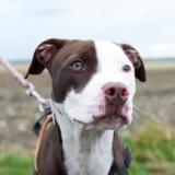 Laya (réservée), Chiot croisé / autre (labrador (retriever)/ braque) à adopter