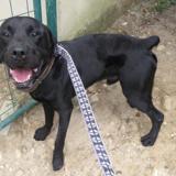 Lucky, Chien croisé / autre (labrador (retriever)/ cane corso) à adopter