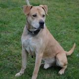 Eristof, Chiot croisé / autre (labrador (retriever)/ cane corso) à adopter