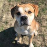 Lasko, Chien croisé / autre (labrador (retriever)/ dogue) à adopter