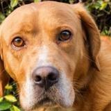 Igor, Chien croisé / autre (labrador (retriever)/ griffon) à adopter
