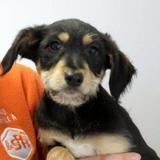 Baki, Chiot croisé / autre (labrador (retriever)/ griffon) à adopter