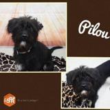 Pilou , Chien croisé / autre (labrador (retriever)/ griffon) à adopter