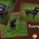 Princesse, Chien croisé / autre (labrador (retriever)/ rottweiler) à adopter