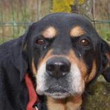 Cannelle, Chien croisé / autre (labrador (retriever)/ rottweiler) à adopter