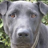 Tenor, Chien croisé / autre (labrador (retriever)/ shar pei) à adopter