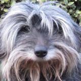 Sherry, Chien croisé / autre (lhassa apso) à adopter