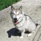 Nacho, Chien croisé / autre (malamute de l'alaska) à adopter