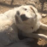 Pumba, Chiot croisé / autre (montagne des pyrenees) à adopter