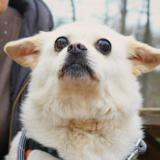 Nina, Chien croisé / autre (pekinois) à adopter