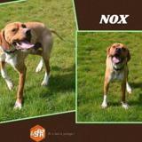 Nox (réservé), Chien croisé / autre (pointer) à adopter