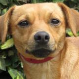 Lola, Chiot croisé / autre (ratier) à adopter