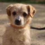 Tobi chao9739, Chien croisé / autre (ratier/ jack russel terrier) à adopter