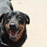 Nabi, Chien croisé / autre (rottweiler) à adopter