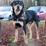 Tyson (réservé), Chien croisé / autre (rottweiler) à adopter