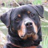 Kimbo, Chien croisé / autre (rottweiler) à adopter