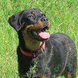 Junior, Chiot croisé / autre (rottweiler) à adopter