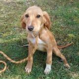 Lili, Chiot croisé / autre (setter anglais) à adopter