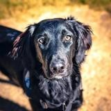 Baya (reservée), Chiot croisé / autre (setter anglais) à adopter